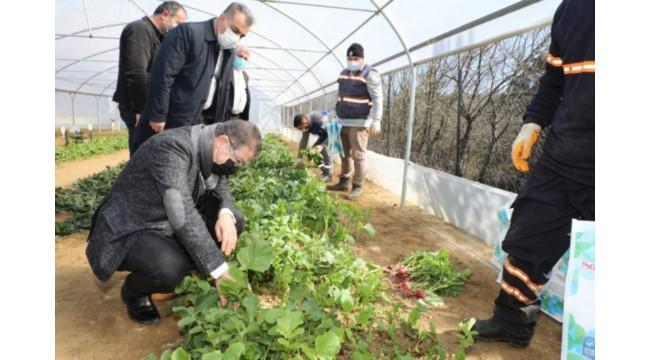 Belediyenin kurduğu seralarda yetişen sebzeler ihtiyaç sahiplerine ulaştırılıyor