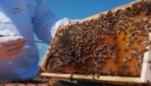 İngiltere'yi katil arılar sardı, doğanın dengesi değişebilir