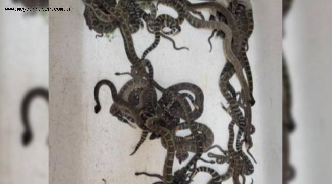 Evdeki döşemelerin altından onlarca çıngıraklı yılan çıktı